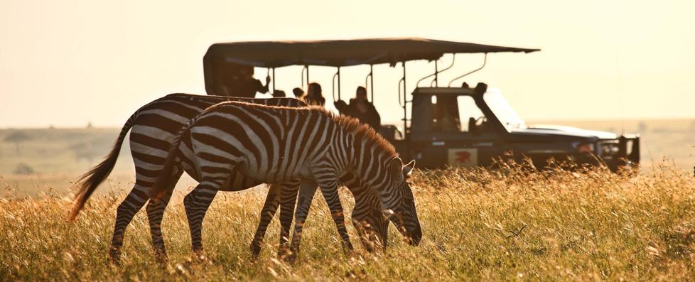 C&P Zebra