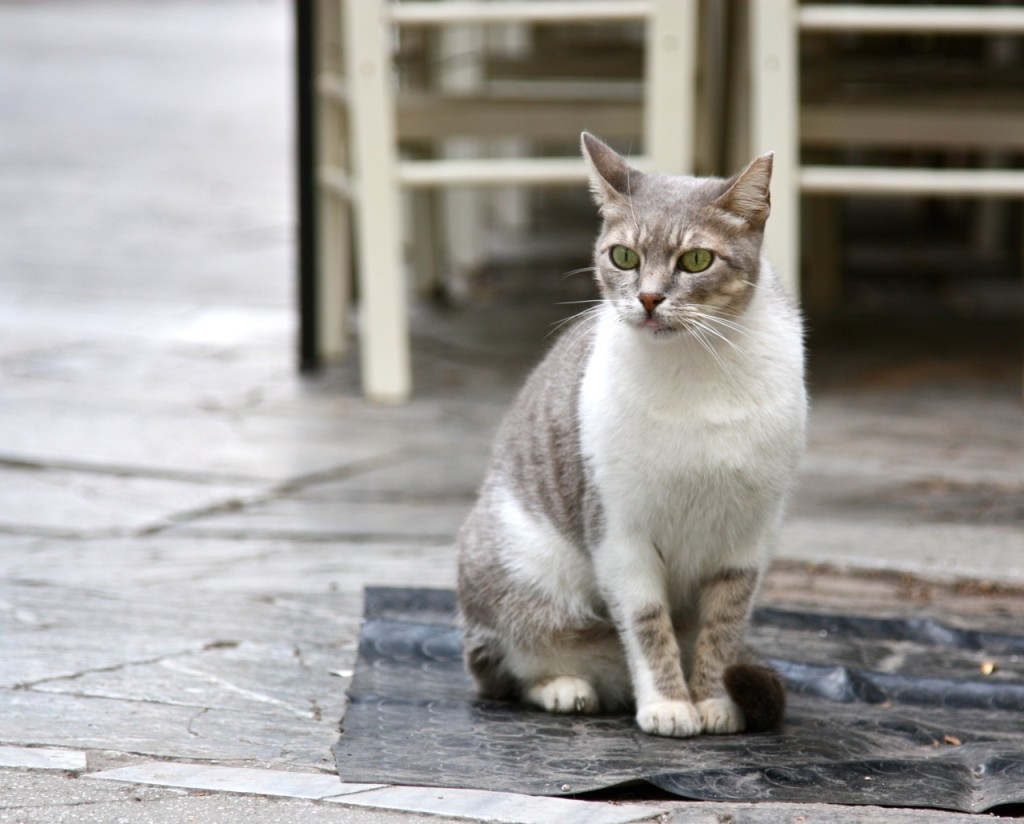 Stray cats of Athens