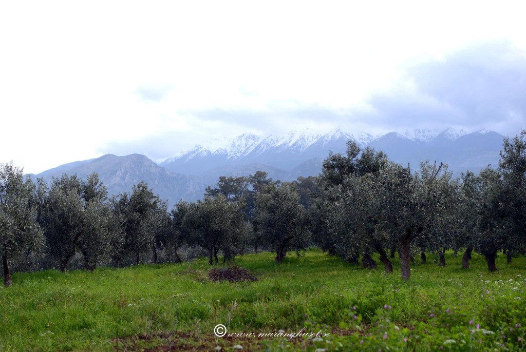 Groves we hope to revive with our Tree Adoption Program through Etsy andCrowdfunding Project. Taken end of March 2014 - Snowny Taigetos at the back (2407 meters height). This is where we gather most of our herbs