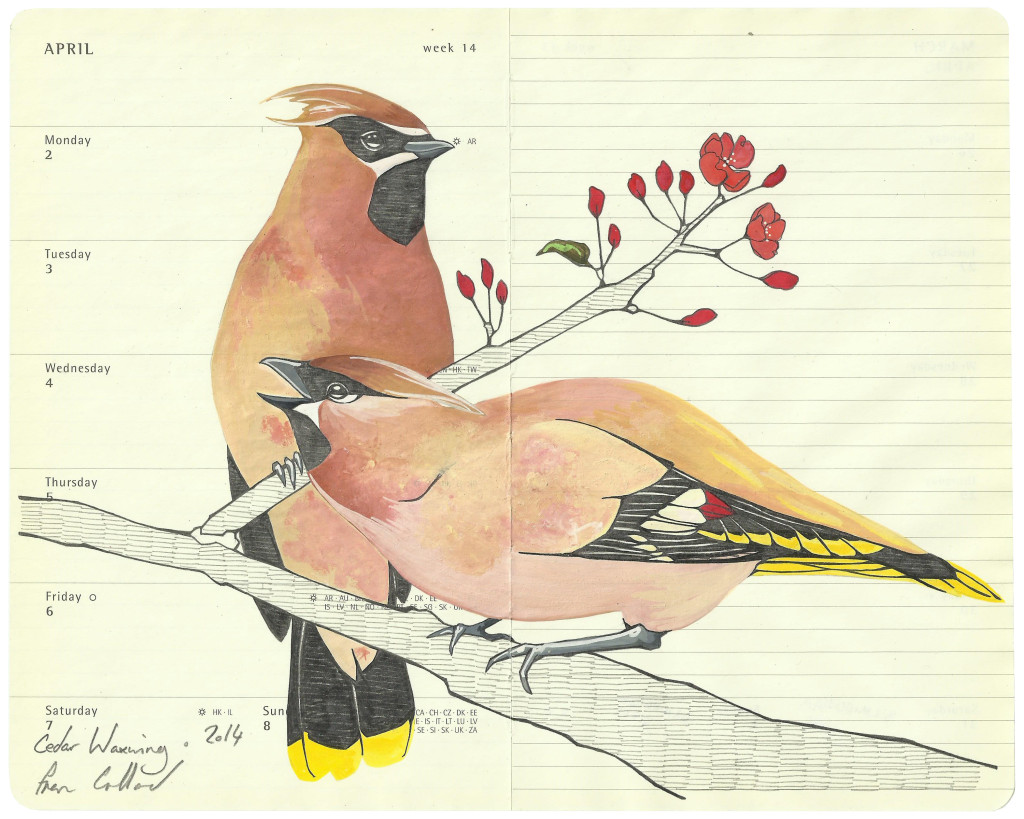 Cedar Waxwing - - Fran Giffard Interview, Little Observationist